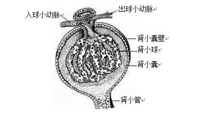 (2)下图是肾小体的结构模式图,请据图回答